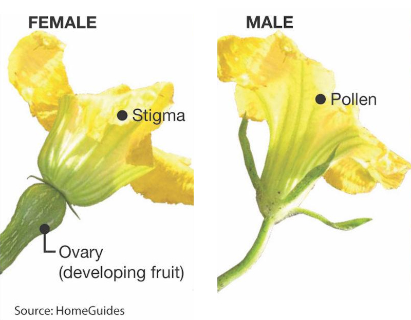 identifying male vs female for pollination