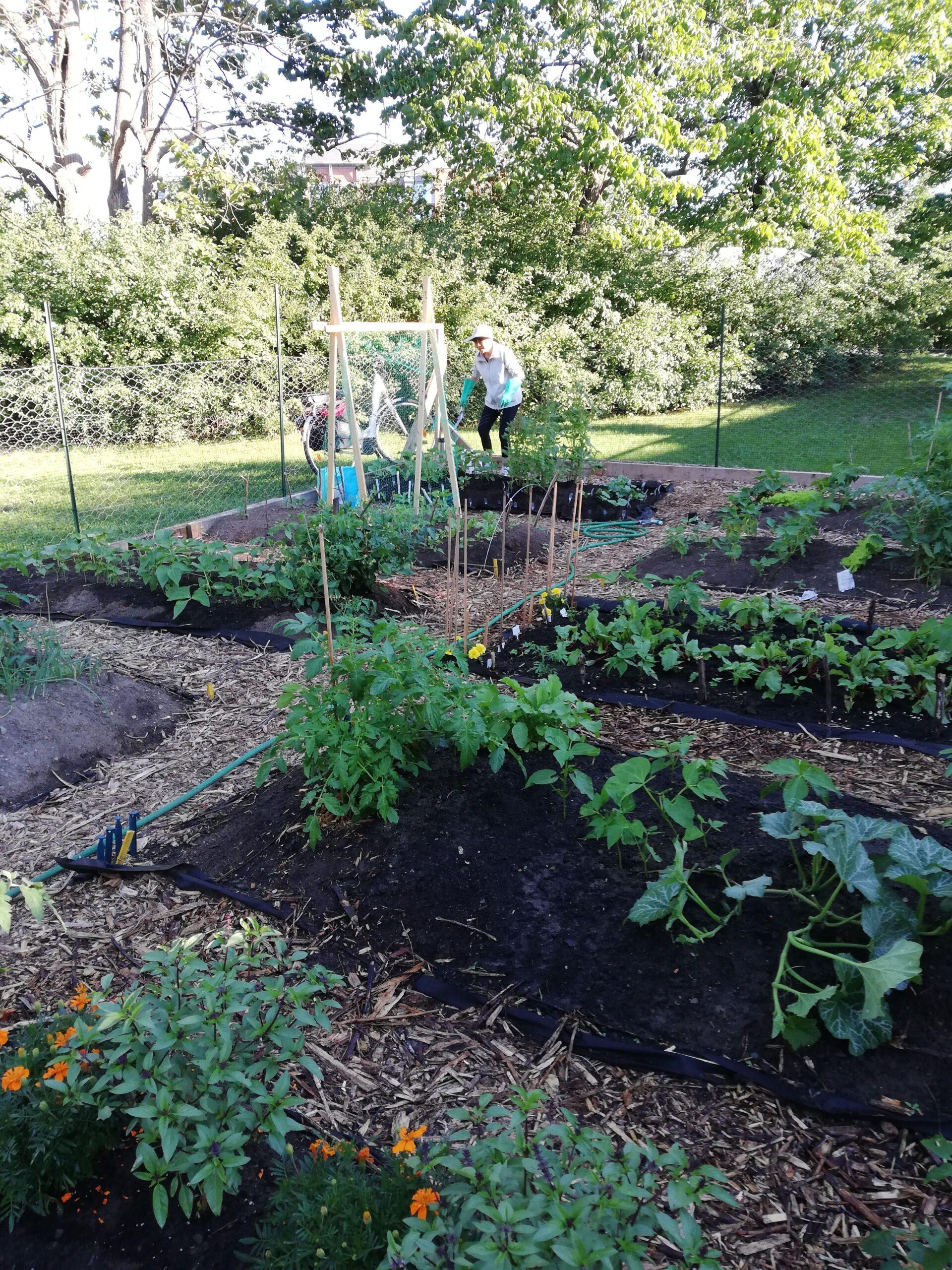 Maudlin Matilda McEwan Community Garden Update